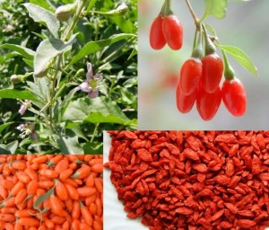 o_Grow_your_own_goji_berries